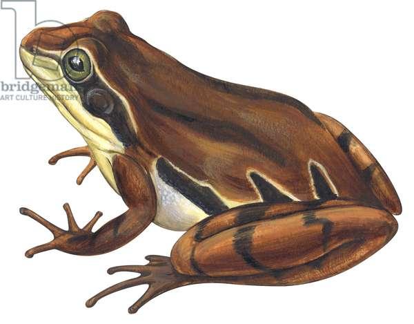 Chorus frog (Pseudacris ornata) ©Encyclopaedia Britannica/UIG/Leemage