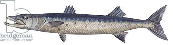 Barracuda - Great barracuda (Sphyraena barracuda) ©Encyclopaedia Britannica/UIG/Leemage