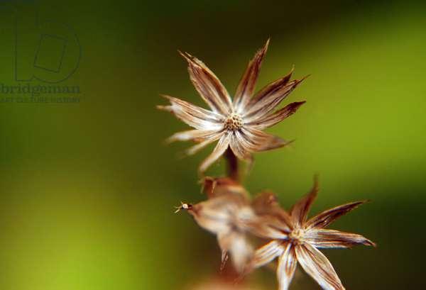 Dry flower (photo)