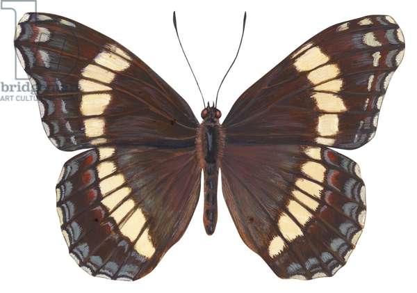 Amiral - White admiral butterfly (Limenitis arthemis) ©Encyclopaedia Britannica/UIG/Leemage
