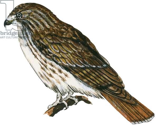 Buse a queue rousse - Red-tailed hawk (Buteo jamaicensis) ©Encyclopaedia Britannica/UIG/Leemage