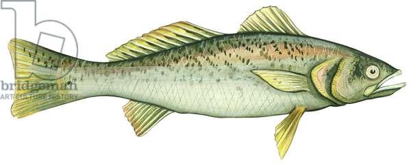 Acoupa royal - Weakfish (Cynoscion regalis) ©Encyclopaedia Britannica/UIG/Leemage