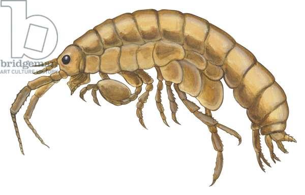 Amphipode - Amphipod (Gammarus locusta) ©Encyclopaedia Britannica/UIG/Leemage