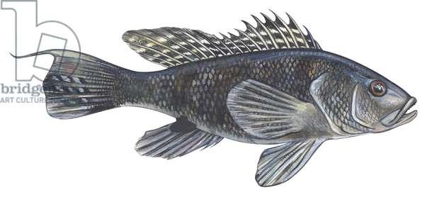 Saint Pierre - Black sea bass (Centropristes striatus) ©Encyclopaedia Britannica/UIG/Leemage