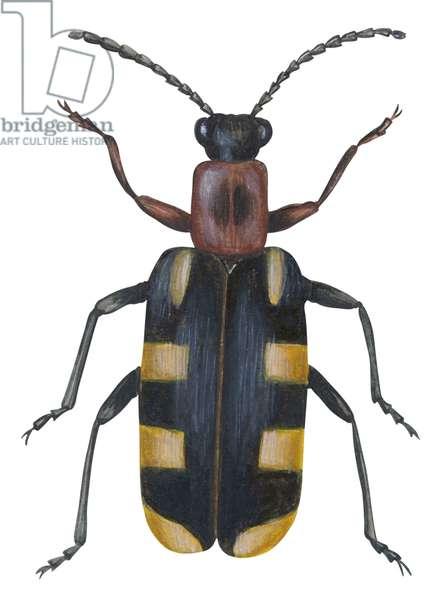 Criocere de l'asperge - Asparagus beetle (Criocerus asparagi) ©Encyclopaedia Britannica/UIG/Leemage