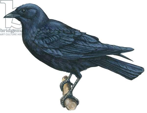 Grand Corbeau (Corvus corax) - American crow ©Encyclopaedia Britannica/UIG/Leemage