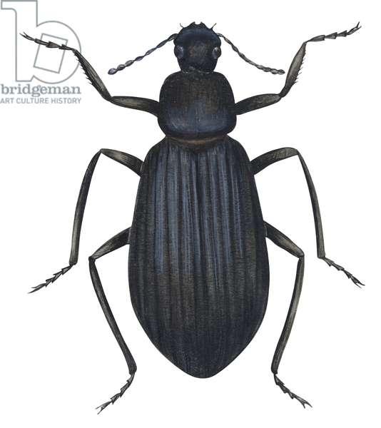 Tenebrionide (coleoptere) - Darkling beetle (Tenebrionidae) ©Encyclopaedia Britannica/UIG/Leemage
