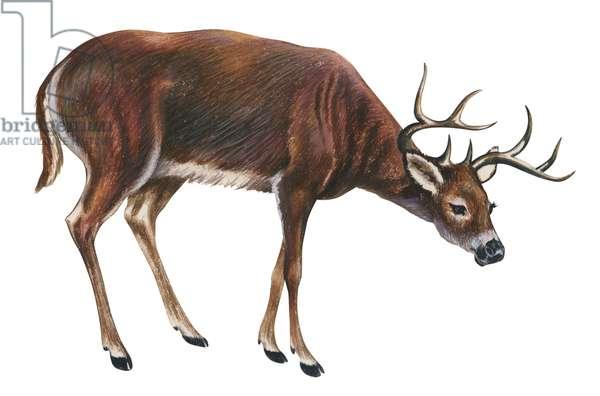 Cerf de Virginie, biche des paletuviers, chevreuil - White-tailed deer (Odocoileus virginianus) ©Encyclopaedia Britannica/UIG/Leemage