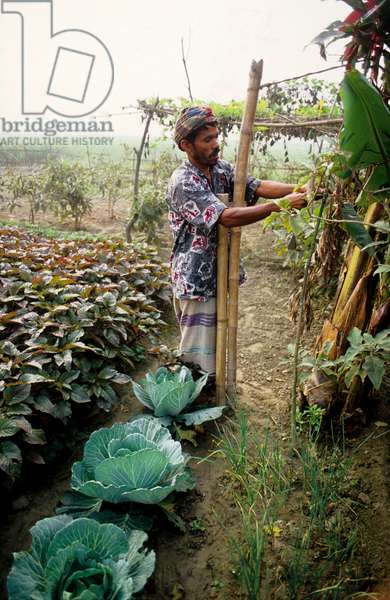 Nayakrishi (new agriculture) farmer Nazrul Islam tending to his organic vegetable garden. Gorashin, Tangail, Bangladesh. 2001.  (photo)
