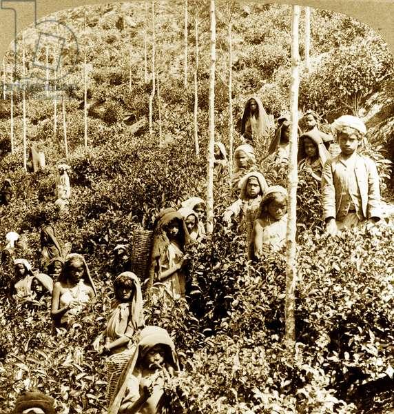 Coolie children picking tea, 1903