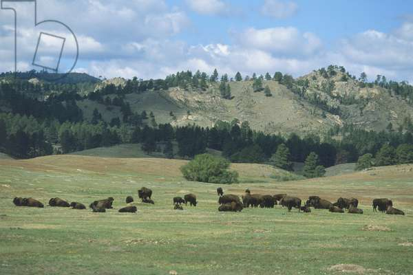 USA, South Dakota, Black Hills, Custer State Park, herd of bison grazing in valley, front view