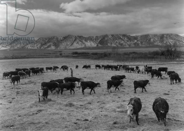 Cattle in south farm, Manzanar Relocation Center, California, 1943 (photo)