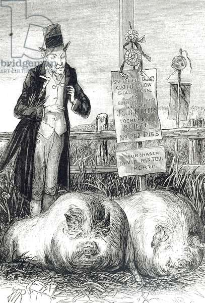 Cartoon depicting prize pigs resting, 19th century