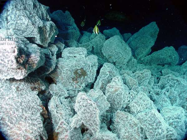 tropical fish swim above boulders covered with bacterial mat, which indicates the presence of hydrothermal venting.