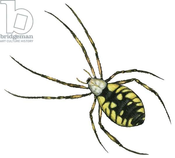 Araignee argiope - Golden Garden spider (Argiope aurantia) ©Encyclopaedia Britannica/UIG/Leemage