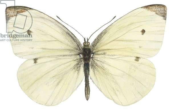 Pieride de la rave - Cabbage butterfly (Pieris rapae) ©Encyclopaedia Britannica/UIG/Leemage