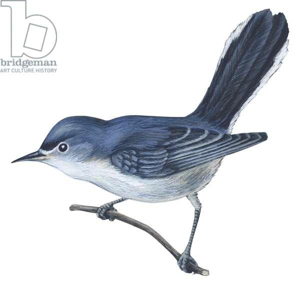 Gobemoucheron gris bleu - Blue-gray gnatcatcher (Polioptila caerulea) ©Encyclopaedia Britannica/UIG/Leemage