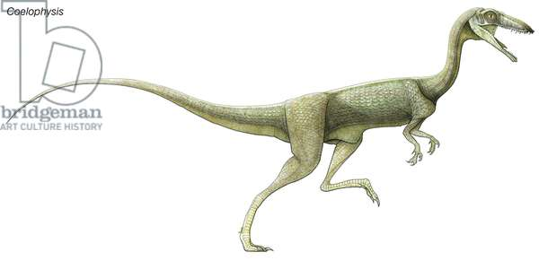 Coelophysis, a late Triassic dinosaur. A predator living in large herds, it had hollow limbs, similar to birds.