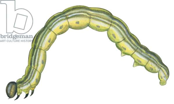 Arpenteuse d'automne - Fall cankerworm (Alsophila pometaria) ©Encyclopaedia Britannica/UIG/Leemage