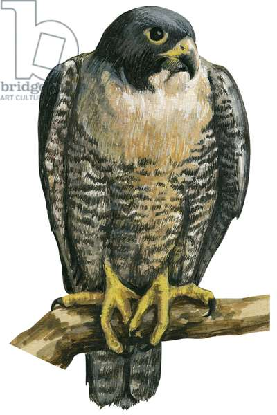 Faucon pelerin - Peregrine falcon (Falco peregrinus) ©Encyclopaedia Britannica/UIG/Leemage