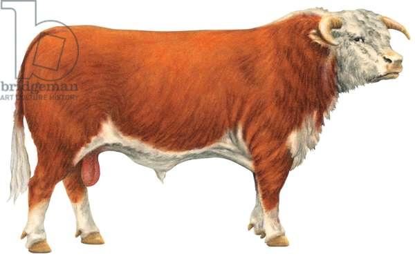 Taureau hereford, ou figure blanche - Hereford bull (Beef cattle breed) ©Encyclopaedia Britannica/UIG/Leemage