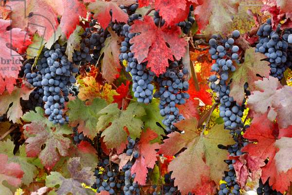 Red Grapes and Vine Leaves, Chile (photo)