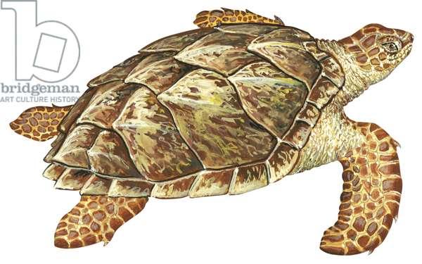 Tortue imbriquee - Hawksbill turtle (Eretmochelys imbricata) ©Encyclopaedia Britannica/UIG/Leemage