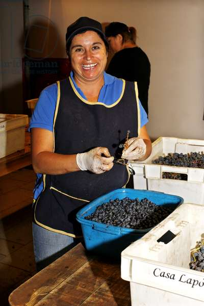 Worker picking Grapes, Chile (photo)