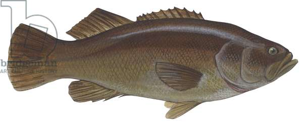 Bar gigantesque - Giant sea bass (Stereolepis gigas) ©Encyclopaedia Britannica/UIG/Leemage