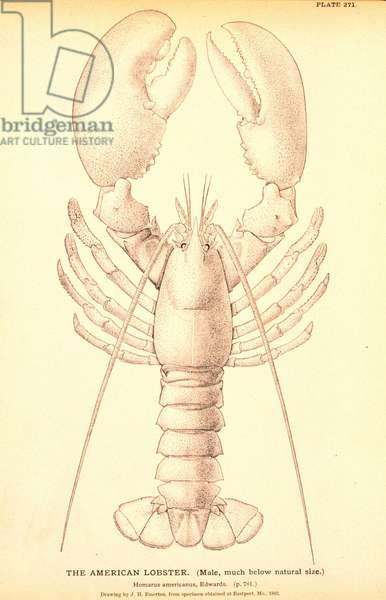 American Lobster, illustration 1878