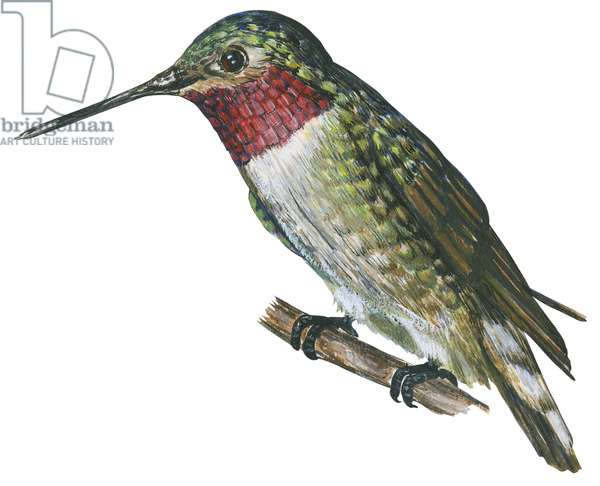Colibri a queue large - Broad-tailed hummingbird (Selasphorus platycercus) ©Encyclopaedia Britannica/UIG/Leemage