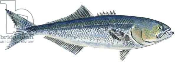 Tassergal - Bluefish (Pomatomus saltatrix) ©Encyclopaedia Britannica/UIG/Leemage