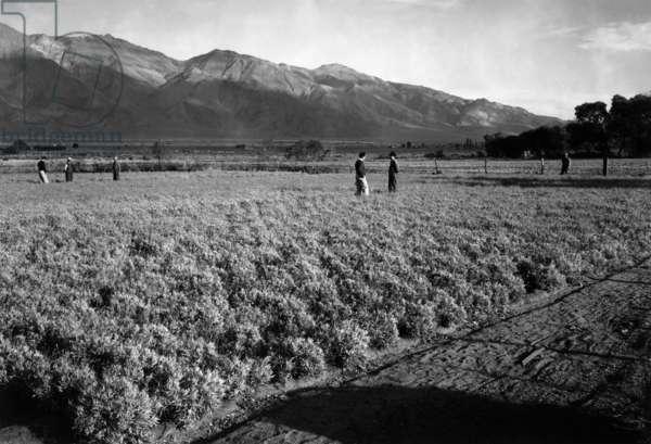 Guayule field, Manzanar Relocation Center, California, 1943 (photo)