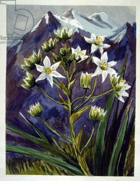 A white Alpine flower