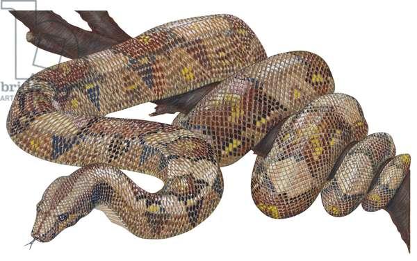 Boa constrictor (Boa constrictor) ©Encyclopaedia Britannica/UIG/Leemage