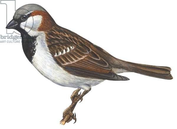 Moineau domestique - House sparrow : House, or English, sparrow (Passer domesticus) ©Encyclopaedia Britannica/UIG/Leemage