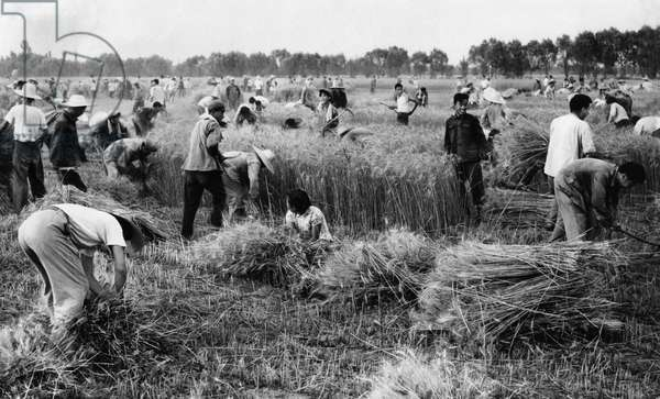 Revolutionary teachers and students of the Peking Aeronautical Engineering Institute harvesting wheat with members of the Tungpeiwang Commune near Peking (Beijing), China, 1967