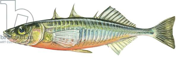 Epinoche - Threespine stickleback (Gasterosteus aculeatus) ©Encyclopaedia Britannica/UIG/Leemage