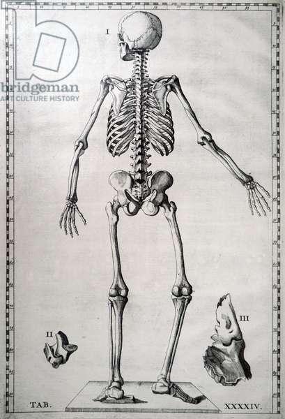 A human skeleton.