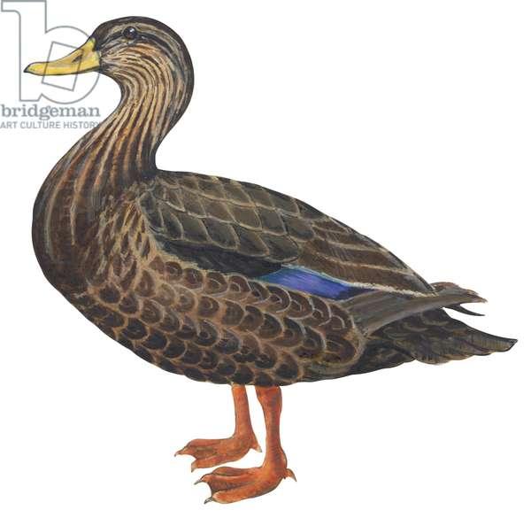 Canard noir - Black duck (Anas rubripes) ©Encyclopaedia Britannica/UIG/Leemage