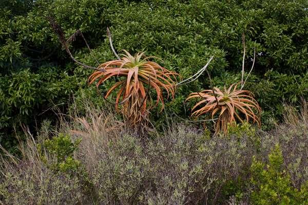 Botlierskop plant (photo)