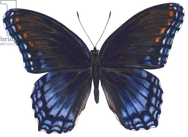Amiral - Red-spotted purple : Red-spotted purple (Limenitis arthemis astyanax) ©Encyclopaedia Britannica/UIG/Leemage