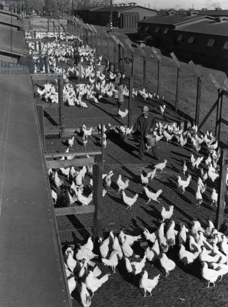 Poultry farm, Manzanar Relocation Center, California, 1943 (photo)
