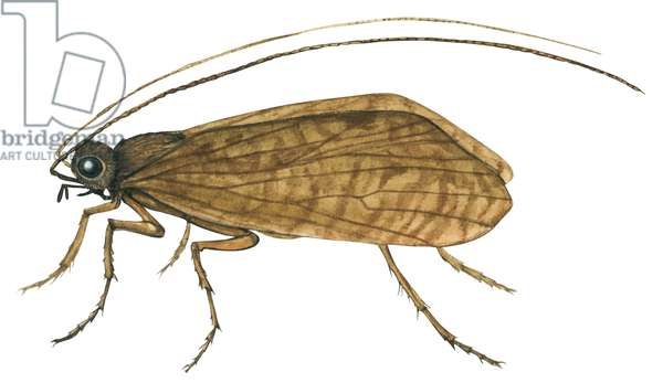 Phrygane - Caddis fly (Ptilostomis semifasciata) ©Encyclopaedia Britannica/UIG/Leemage