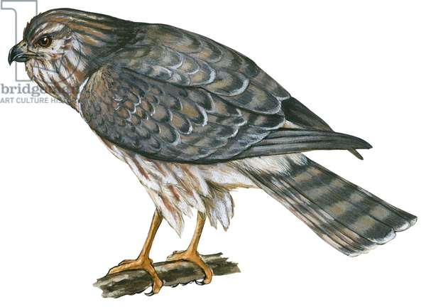 Busard Saint Martin - Marsh hawk (Circus cyaneus) ©Encyclopaedia Britannica/UIG/Leemage