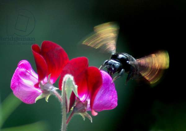 A large bee collecting nectar from sweet pea blossom. India. February 17, 2006.  (photo)