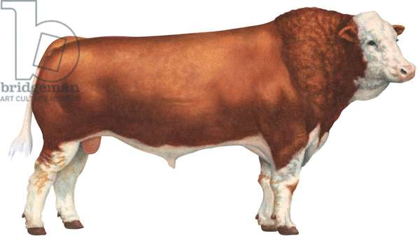 Taureau Fleckvieh - Simmental bull (Cattle breed) ©Encyclopaedia Britannica/UIG/Leemage