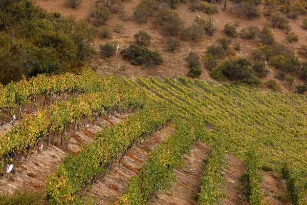 Tarapaca Vineyards, Chile (photo)