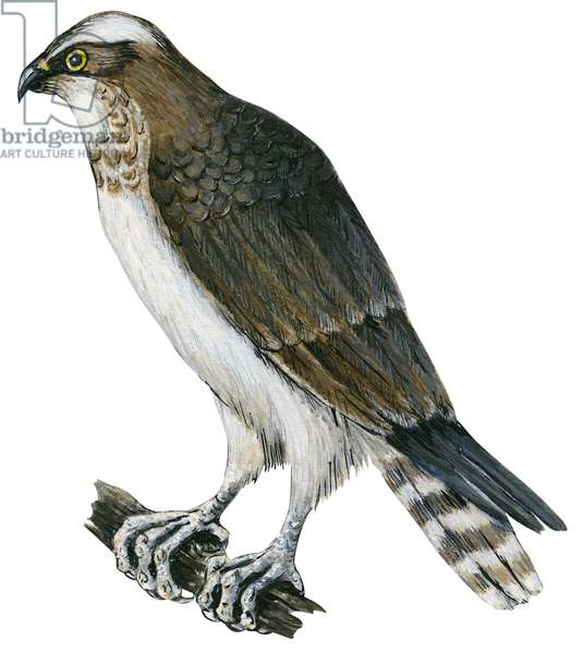 Balbuzard pecheur - Osprey (Pandion haliaetus) ©Encyclopaedia Britannica/UIG/Leemage