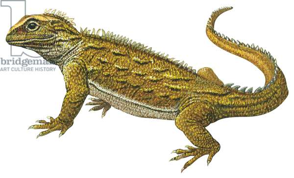 Sphenodon ponctue - Tuatara (Sphenodon punctatus) ©Encyclopaedia Britannica/UIG/Leemage